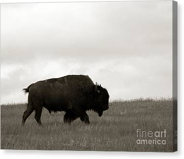 Lone Bison Canvas Print by Olivier Le Queinec