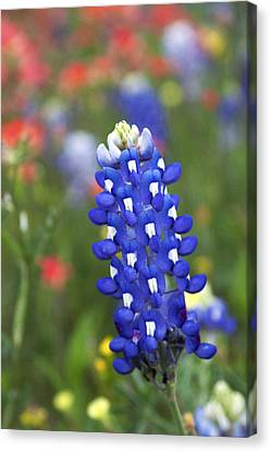 Lone Bluebonnet Canvas Print