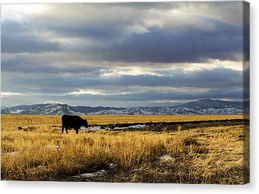 Lone Cow Against A Stormy Montana Sky. Canvas Print by Dana Moyer