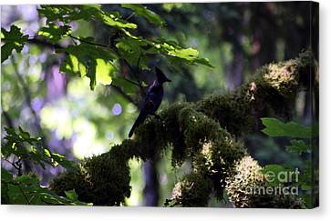 Lone Forest Jay Canvas Print by Nick Gustafson