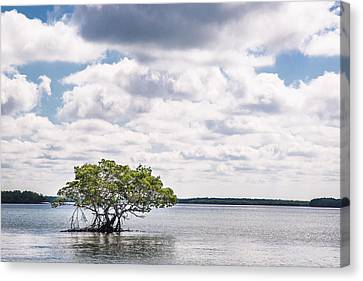 Lone Mangrove Canvas Print by Adam Pender