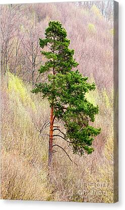 Canvas Print featuring the photograph Lone Pine by Les Palenik