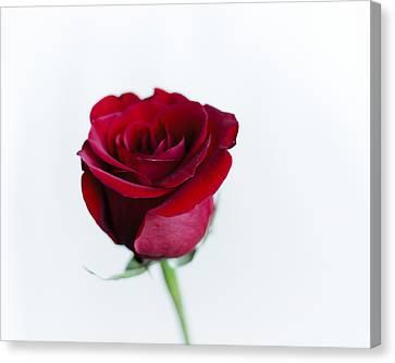 Lone Rose Canvas Print by Christi Kraft