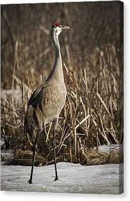 Lone Sandhill Crane 1 Canvas Print by Thomas Young