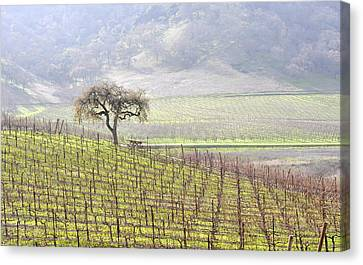 Lone Tree In The Vineyard Canvas Print