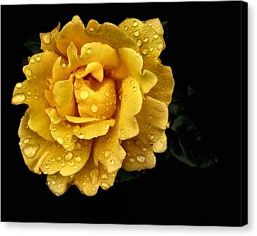 Lone Yellow Rose Canvas Print by Stephanie Hollingsworth