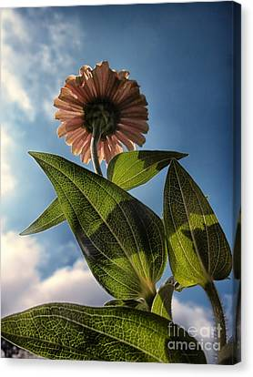 Lone Zinnia 01 Canvas Print by Thomas Woolworth