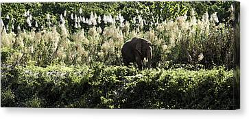 Lonely Bull Canvas Print