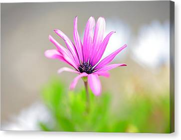 Lonely Cosmos Canvas Print