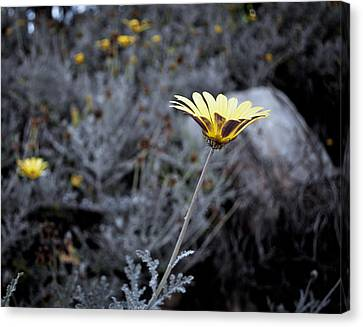 Lonely Flower Canvas Print by Sergey Simanovsky