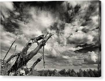 Lonely Tree Roots Reaching For The Sky Canvas Print