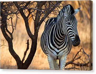 Lonely Zebra Canvas Print