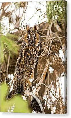 Long-eared Owl Asio Otus Canvas Print by Photostock-israel