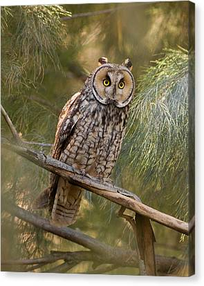 Long-eared Owl Canvas Print by Doug Herr