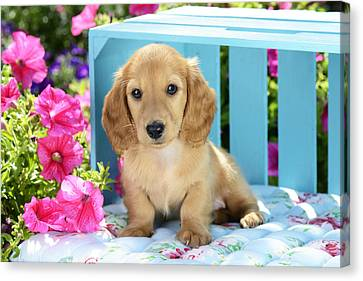 Long Eared Puppy In Front Of Blue Box Canvas Print by Greg Cuddiford