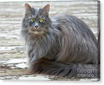 Long Haired Gray Cat Art Prints Canvas Print by Valerie Garner