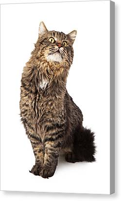 Long Haired Tabby Cat Sitting Looking Up Canvas Print by Susan Schmitz