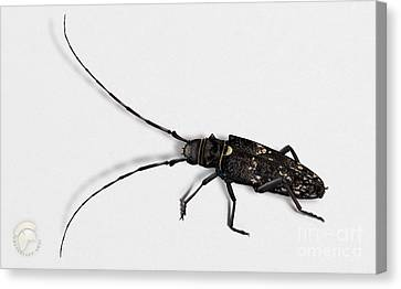 Long-hornded Wood Boring Beetle Monochamus Sartor - Coleoptere Monochame Tailleur - Canvas Print by Urft Valley Art