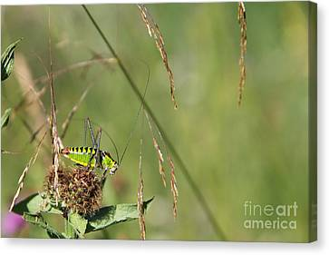 Canvas Print featuring the photograph Long-horned Katydid by Jivko Nakev