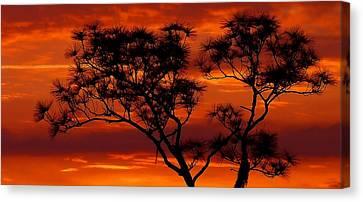 Long Leaf Pine Canvas Print