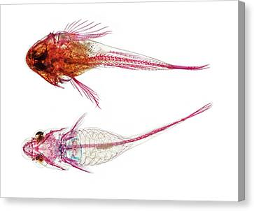 Long-spined Sea Scorpion And Clingfish Canvas Print by Natural History Museum, London