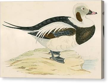 Long Tailed Duck Canvas Print by Beverley R. Morris