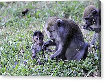 Canvas Print featuring the photograph Long Tailed Macaque Family by Shoal Hollingsworth