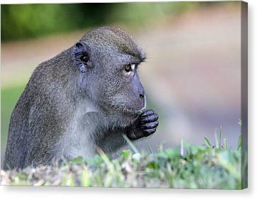 Canvas Print featuring the photograph Long Tailed Macaque Feeding by Shoal Hollingsworth