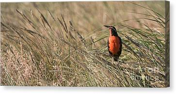 Meadowlark Canvas Print - Long-tailed Meadowlark by John Shaw