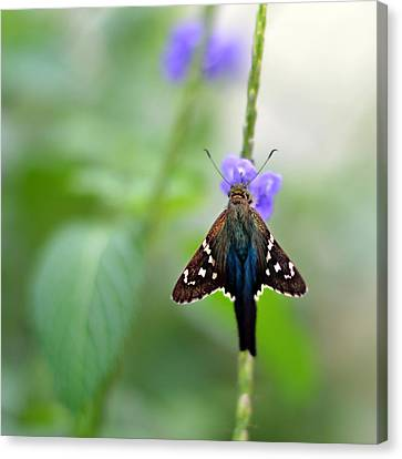 Long Tailed Skipper Canvas Print by Laura Fasulo