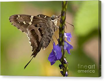 Canvas Print featuring the photograph Long-tailed Skipper Photo by Meg Rousher