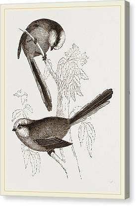 Long-tailed Titmice Canvas Print by Litz Collection