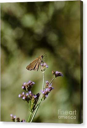 Long-winged Skipper Butterfly Canvas Print
