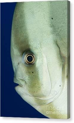 Longfin Spadefish Side On Facial View Canvas Print by Steve Jones