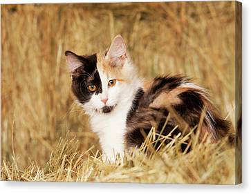 Longhair Calico Kitten In Golden Grass Canvas Print by Piperanne Worcester