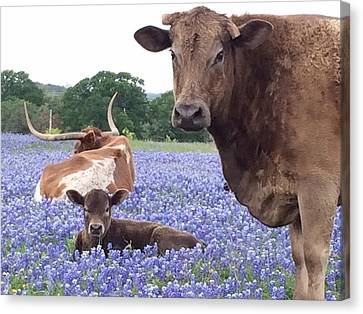 Longhorn And Bay Cow Resting In Bluebonnets Canvas Print