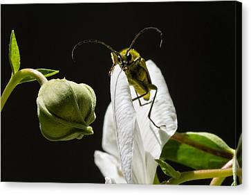 Kathleen Canvas Print - Longhorn Beetle Feeding by Kathleen Bishop