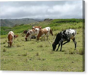 Longhorn Cattle Canvas Print