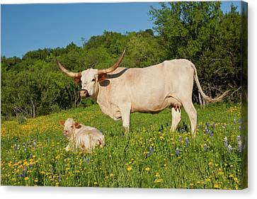 Longhorn Cattle On Central Texas Ranch Canvas Print by Larry Ditto