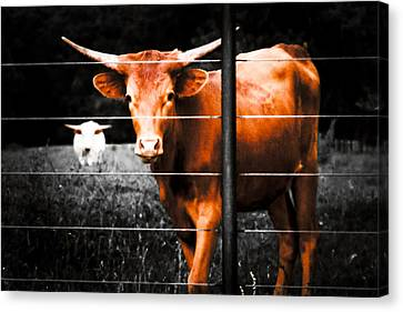 Canvas Print featuring the photograph Longhorn Curiosity by Bartz Johnson
