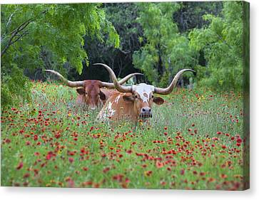 Longhorns In A Field Of Texas Wildflowers Canvas Print by Rob Greebon