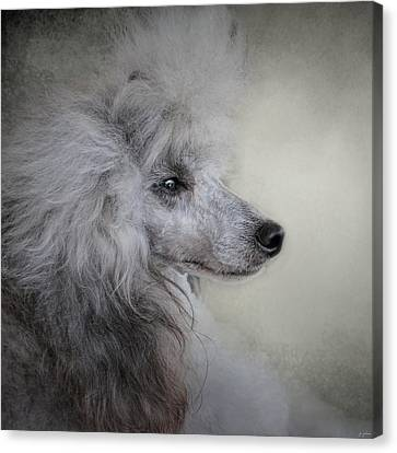 Longing - Silver Standard Poodle Canvas Print by Jai Johnson
