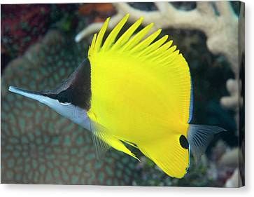 Longnose Butterflyfish On A Reef Canvas Print by Louise Murray