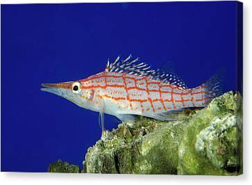 Longnose Hawkfish Canvas Print by Nigel Downer