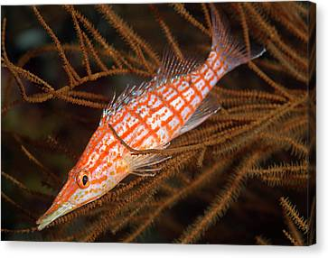 Longnose Hawkfish On Black Coral Canvas Print by Louise Murray