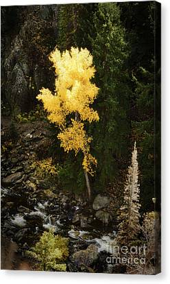 Lonly Aspen Canvas Print by Jim  Calarese