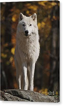 Canvas Print featuring the photograph Look Out by Wolves Only