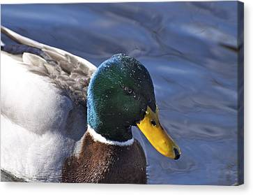 Looking Dapper Canvas Print by Julie Smith