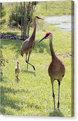 Crane Canvas Print - Looking For A Handout by Carol Groenen