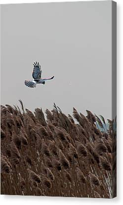 Looking For Lunch Canvas Print by Rhonda Humphreys